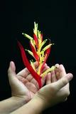 Tropische rote und gelbe Blume in der Hand Stockfotos