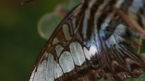 Tropische Schmetterlingsnahaufnahme stock footage