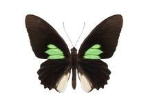 Tropische Schmetterlingssammlung Parides-sesostris Lizenzfreies Stockfoto
