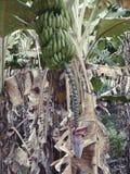 Tropische Seychellen de hagedis van de vBananaboom in de Seychellen Royalty-vrije Stock Afbeelding