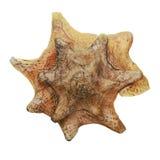 Tropische shell Stock Fotografie