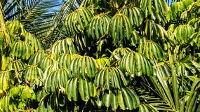 Tropische struiken met lange groene bladeren royalty-vrije stock afbeelding