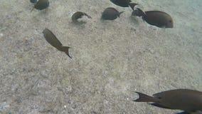 Tropische surgeonfish zwemt dichtbij het koraalrif stock footage