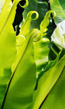 Tropische vareninstallatie Royalty-vrije Stock Fotografie
