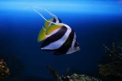 Tropische vissen Stock Afbeeldingen