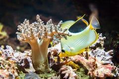 Tropische vissen Royalty-vrije Stock Foto's