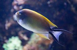 Tropische Vissen Royalty-vrije Stock Afbeeldingen