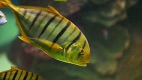 Tropische vissen in aquarium stock video