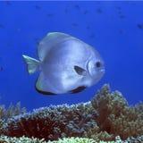 Tropische vissen Batfish stock fotografie