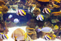 Tropische vissen bij koraalrifgebied in zeewater Stock Afbeeldingen