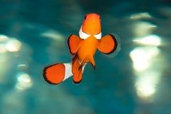 Tropische vissen clownfish royalty-vrije stock afbeelding
