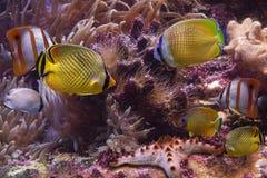 Tropische vissen en zeester Royalty-vrije Stock Foto's