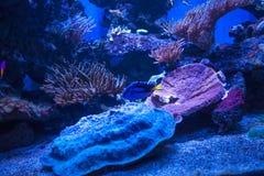 Tropische vissen met koralen en algen in blauw water Mooie achtergrond van de onderwaterwereld Stock Foto