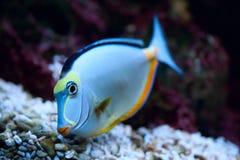 Tropische Vissen Naso Tang Royalty-vrije Stock Foto's