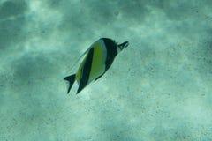 Tropische vissen in ondiep water tussen zandige zeebedding en waterspiegel stock foto