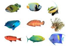 Tropische Vissen op witte achtergrond royalty-vrije stock afbeeldingen