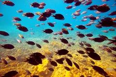 Tropische vissen in Rode overzees Stock Afbeelding