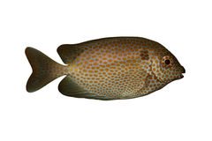 Tropische vissen Siganus chrysosp stock afbeeldingen