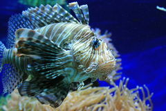 Tropische vissen tegen levendige poliepen Royalty-vrije Stock Foto