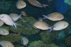 Tropische vissen, Thailand. Royalty-vrije Stock Foto's