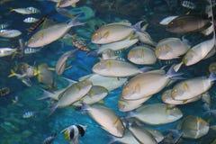Tropische vissen, Thailand. Royalty-vrije Stock Foto