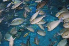 Tropische vissen, Thailand. Royalty-vrije Stock Afbeelding