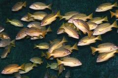 Tropische vissen, Thailand. Stock Fotografie