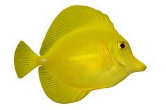 Tropische Vissen Zebrasoma flaves royalty-vrije stock afbeeldingen