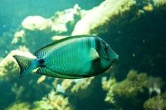 Tropische vissen in zijn habitat Stock Foto