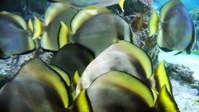 Tropische vissenclose-up - zonnestraal butterflyfish stock footage