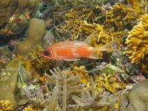 Tropische vissenlongspine squirrelfish onderwater Stock Fotografie