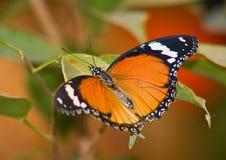 Tropische vlinder 2 Stock Foto's