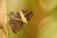 Tropische vlinder Stock Foto