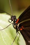Tropische vlinder-Heleconius melpomene Royalty-vrije Stock Foto's