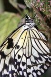 Tropische vlinder (Idee leuconoe) Royalty-vrije Stock Foto
