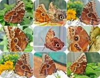 Tropische vlinder Morpho, Caligo - fotocollage Stock Foto's
