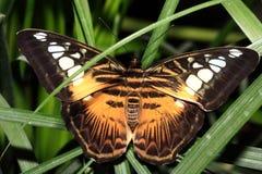 Tropische vlinder (Parthenos Silvia) Royalty-vrije Stock Foto's