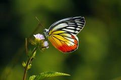 Tropische Vlinder Thailand die op hoogste roze bloem landen stock afbeelding