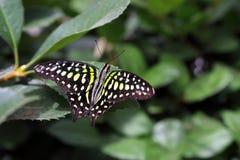 Tropische vlinder in zijn natuurlijke habitat stock afbeelding
