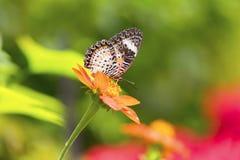 Tropische vlinderzitting bij bloem in Maleisië Stock Afbeeldingen