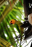 Tropische vogel Aratinga pertinax Royalty-vrije Stock Foto's