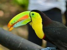 Tropische vogeltoekan Stock Foto