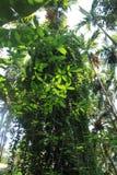 Tropische Waldkräuter Lizenzfreie Stockbilder