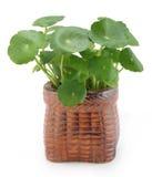 Tropische Wasserpflanze im Potenziometer Stockfoto