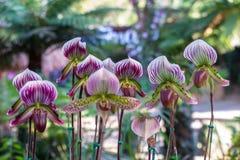 Tropische waterkruikinstallaties, aapkoppen in de tuin Royalty-vrije Stock Afbeeldingen