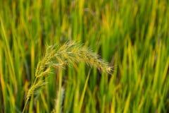 Tropische wilde Getreidewiese Lizenzfreies Stockfoto