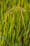 Tropische wilde Getreidewiese unter warmem Sonnenlicht Lizenzfreie Stockfotos