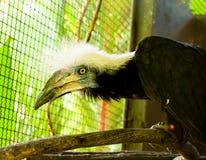 Tropische zwarte vogel met grote bek Royalty-vrije Stock Afbeelding