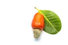 Tropischer Acajoubaum trägt Früchte (Anacardium occidenta Stockfotos