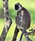 Tropischer Affe Sri Lanka Stockfoto